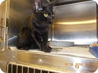 Domestic Mediumhair Cat for adoption in Temple, Texas - A045987