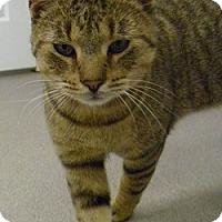 Adopt A Pet :: Bear - Hamburg, NY