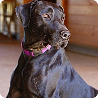 Adopt A Pet :: Lacie - Charlotte, NC