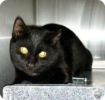 Domestic Shorthair Cat for adoption in Henderson, North Carolina - Brad