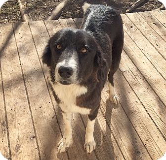 Border Collie Dog for adoption in Fort Collins, Colorado - Abigail (FORT COLLINS)