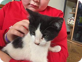 Domestic Shorthair Kitten for adoption in Nesquehoning, Pennsylvania - Charlie