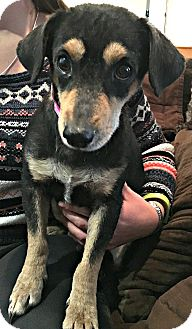 Dachshund/Miniature Pinscher Mix Dog for adoption in Boulder, Colorado - stratton
