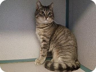 Domestic Shorthair Kitten for adoption in Kinston, North Carolina - Katherine