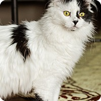 Domestic Mediumhair Cat for adoption in Princeton, Minnesota - Alison