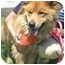 Photo 1 - Chow Chow/Collie Mix Dog for adoption in Marina del Rey, California - Ava