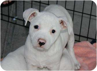 American Pit Bull Terrier Mix Puppy for adoption in Mesa, Arizona - Munchkin