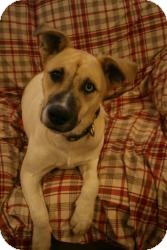 Husky/Shepherd (Unknown Type) Mix Dog for adoption in Wytheville, Virginia - Uno Blue