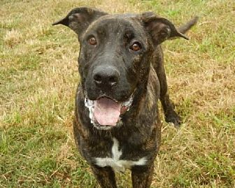 Mastiff Mix Dog for adoption in Anniston, Alabama - Nettie