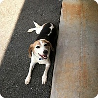 Beagle Dog for adoption in Rustburg, Virginia - Lucy