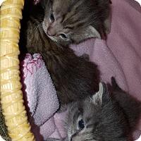 Adopt A Pet :: Callista - Stanford, CA