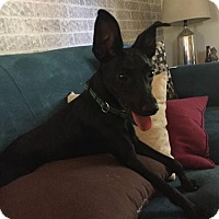 Chihuahua/Terrier (Unknown Type, Medium) Mix Dog for adoption in Olympia, Washington - Archie