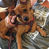 Yorkie, Yorkshire Terrier Mix Puppy for adoption in Ft. Lauderdale, Florida - Paulie