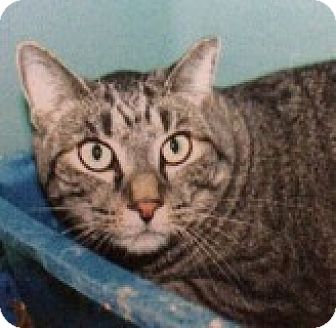Domestic Shorthair Cat for adoption in Breinigsville, Pennsylvania - Tiger