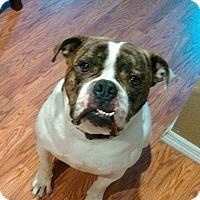 American Bulldog Dog for adoption in Ronkonkoma, New York - Cane
