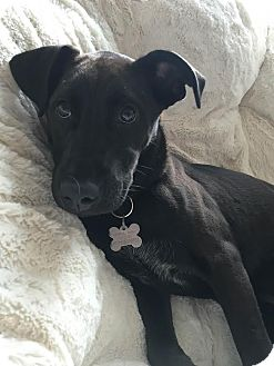 Labrador Retriever Mix Puppy for adoption in Washington, D.C. - Midge