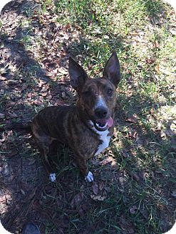 Bull Terrier/Dutch Shepherd Mix Dog for adoption in Bishopville, South Carolina - Hope