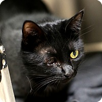 Domestic Mediumhair Cat for adoption in Appleton, Wisconsin - Tigger *Petsmart*