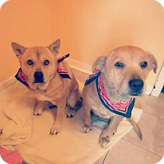 Shar Pei/Shiba Inu Mix Dog for adoption in Amherst, Ohio - Gretchen and Sam