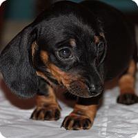 Adopt A Pet :: 8 week old boy puppy - Portland, OR