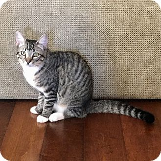 Domestic Shorthair Kitten for adoption in Mission Viejo, California - Misty