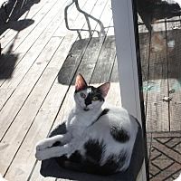 Adopt A Pet :: Patches - St. Louis, MO