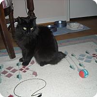 Adopt A Pet :: Cookie-Unique Bobtail - Arlington, VA