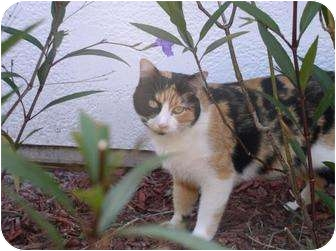 Domestic Shorthair Cat for adoption in Cocoa, Florida - Gabby