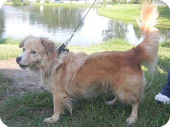 Welsh Corgi/Sheltie, Shetland Sheepdog Mix Dog for adoption in Orange Park, Florida - Rango