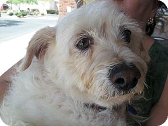 Westie, West Highland White Terrier/Terrier (Unknown Type, Small) Mix Dog for adoption in Phoenix, Arizona - Westie