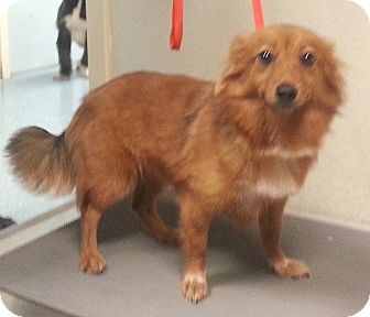 Pomeranian Mix Dog for adoption in Orlando, Florida - Jasmine