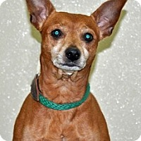 Adopt A Pet :: Chico - Port Washington, NY