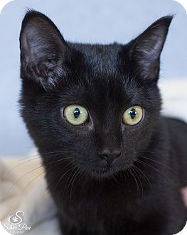 Domestic Shorthair Cat for adoption in Fort Collins, Colorado - Black Canary