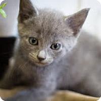 Adopt A Pet :: Nikolai - Coral Springs, FL