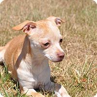 Adopt A Pet :: Dee Dee - Tumwater, WA
