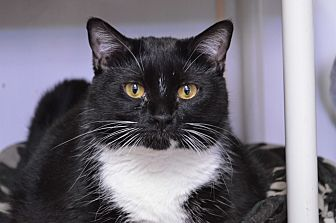 Domestic Shorthair Cat for adoption in House Springs, Missouri - Cleo