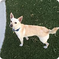 Adopt A Pet :: Stetson - Las Vegas, NV