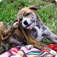 Adopt A Pet :: Zeus $250 - Seneca, SC