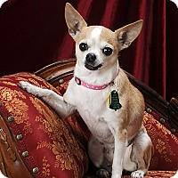 Chihuahua Dog for adoption in Indianapolis, Indiana - Emmy