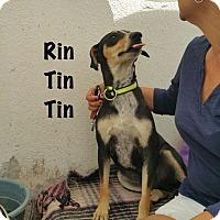 Adopt A Pet :: Rin Tin Tin - Calgary, AB