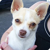 Adopt A Pet :: Caroline - Kirkland, WA