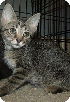 Domestic Shorthair Kitten for adoption in Acme, Pennsylvania - ARLENE