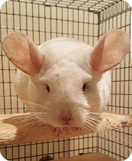 Chinchilla for adoption in Granby, Connecticut - Angelina