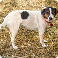 Adopt A Pet :: Lacey Sue - Enfield, CT