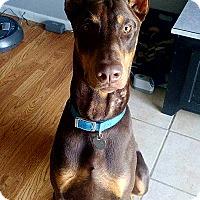 Adopt A Pet :: Loki - Lafayette, IN