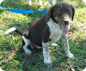 German Shorthaired Pointer Mix Puppy for adoption in Brattleboro, Vermont - Hannah