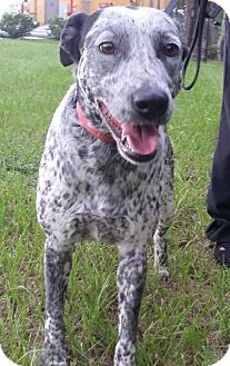 Australian Cattle Dog/Labrador Retriever Mix Puppy for adoption in Bradenton, Florida - Beauty