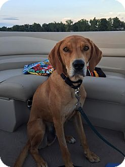 Coonhound Mix Dog for adoption in Coldwater, Michigan - Banjo - IN TRAINING