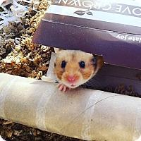 Adopt A Pet :: Sweet Tart - Bensalem, PA