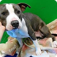 Adopt A Pet :: Chopper - Redding, CA